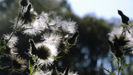 Stock Video Footage of white thistles