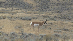 Wyoming Male Antelope Stock Footage