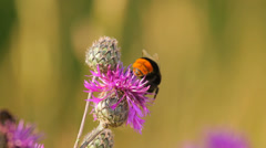 Bumblebee on a purple flower in the natural meadow Stock Footage