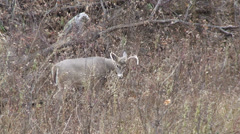 Wyoming Whitetail Buck - stock footage