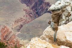 grand canyon squirrel - stock photo