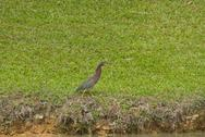 Stock Photo of green heron (butorides virescens)