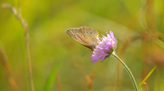 Butterfly on a wild pink flower in natural meadow Stock Footage