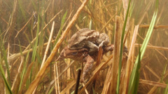 Toads Mating Underwater Pond Bufo Stock Footage