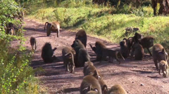 Troop of olive baboons travel down a dirt road Stock Footage