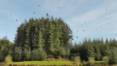 Red Kites fly in the sky, then dive down to pick meat up from the grass Stock Footage
