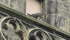 Peregrine Falcon on church ledge plucking pigeon feathers - stock footage