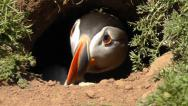 Stock Video Footage of Puffin in borrow