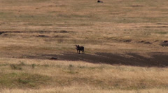 Two jackels try to corner a warthog in Serengeti Stock Footage