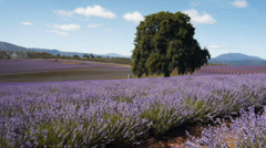 Tasmanian lavender fields-1 Stock Footage