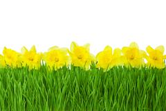 Spring border / yellow daffodils and green grass isolated on white background Stock Photos