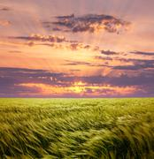 Greed wheat field and beautiful sunset sky Stock Photos