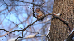 Squirrel in the winter forest. St. Petersburg. Russia - stock footage