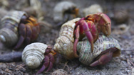 Stock Video Footage of Hermit crabs.