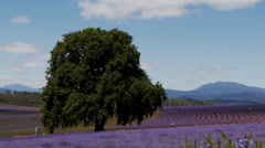 Tasmanian lavender fields-2 Stock Footage