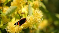 Butterfly on yellow tree blooms Stock Footage
