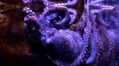 Octopus Stock Footage