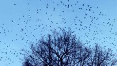 The birds fly away from the  tree crown - stock footage
