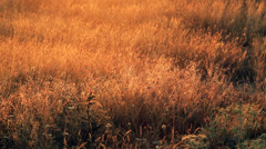 The motly grass in the rays of a rising sun 2 Stock Footage