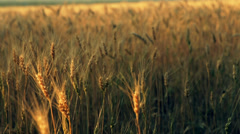 The golden cereals field 2(pan) Stock Footage