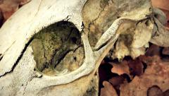 The cow skull in the dry leaves Stock Footage