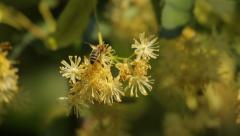 Honey bee collecting pollen from yellow linden tree blossoms Stock Footage