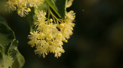 Linden tree blooming, close-up Stock Footage