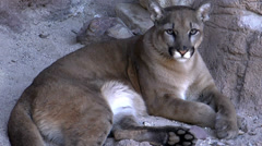 Mountain Lion Big Paws Stock Footage