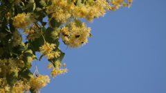 Honey bees collecting pollen from yellow linden tree blossoms Stock Footage