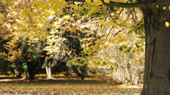 Tree Gentle Falling Leaf - stock footage