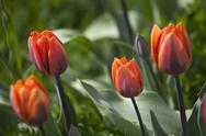 Stock Photo of orange tulip flower