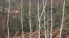 Silver Birch  - Betula Pendula - trunks sway in the breeze. Stock Footage