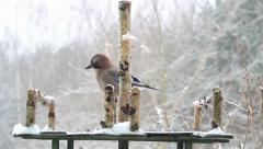 Jay eating lard (pork fat) - bird feeder. Garrulus glandarius. Winter. Stock Footage