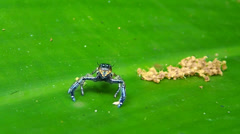 Jumping spider (family Salticidae) Stock Footage