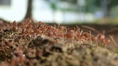 Red ants swarming around Stock Footage