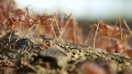 Stock Video Footage of Red ants swarming around