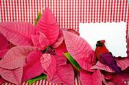 Stock Photo of cardinal with poinsettia blossoms