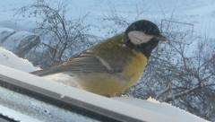 Tit under the window Stock Footage
