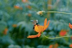 Honey bee gathering pollen from a cosmos flower Stock Photos