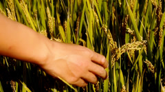 Hand brushing over the heads of asian golden rice paddy in a field. Stock Footage