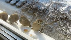 Sparrows under the window Stock Footage