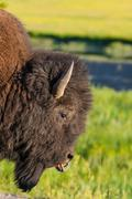 The detail of typical american bison Stock Photos