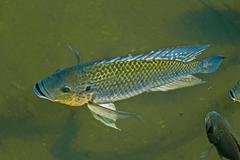 Stock Photo of blue kurper, mozambique tilapia, oreochromis mossambicus fishes in water pond