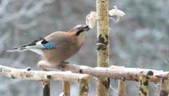 Jay (garrulus glandarius) eating lard (pork fat) - bird feeder. Winter. 6 Stock Footage
