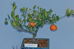 Stock Photo of bonsai plant of orange fruits, sour orange, seville orange