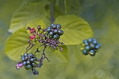 lantana camara, feston rose, common lantana - stock photo