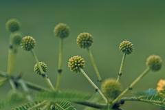 gum arabic, babool, acacia nilotica subsp. indica, india - stock photo