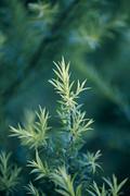 Golden bottle brush, river tea tree, black tea tree, prickly leaved tea tree, Stock Photos