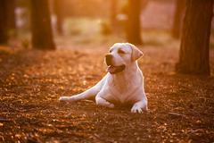 dog lying on a pinewood - stock photo