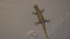 P03299 Gecko on White Wall in House Stock Footage